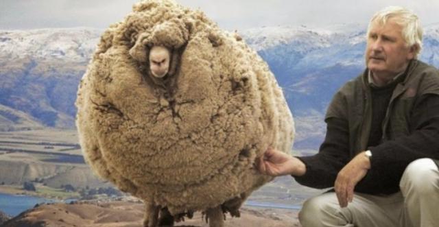 Το πρόβατο που κρυβόταν επί 6 χρονια για να μην το κουρέψουν: Όταν τον έπιασαν έβγαλαν 40 κιλά μαλλί