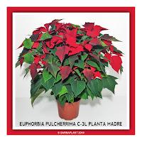 Poinssetia-Euphorbia-Pulcherrima-C3L-Planta-Madre-2018
