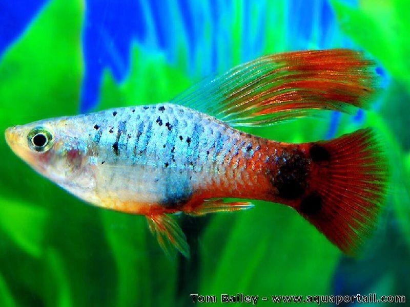 klasifikasi ikan platy