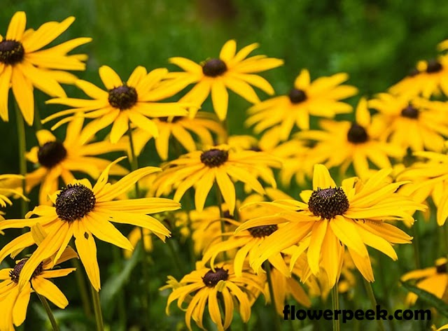 Easy ways to care for Black Eyed Susan Flower
