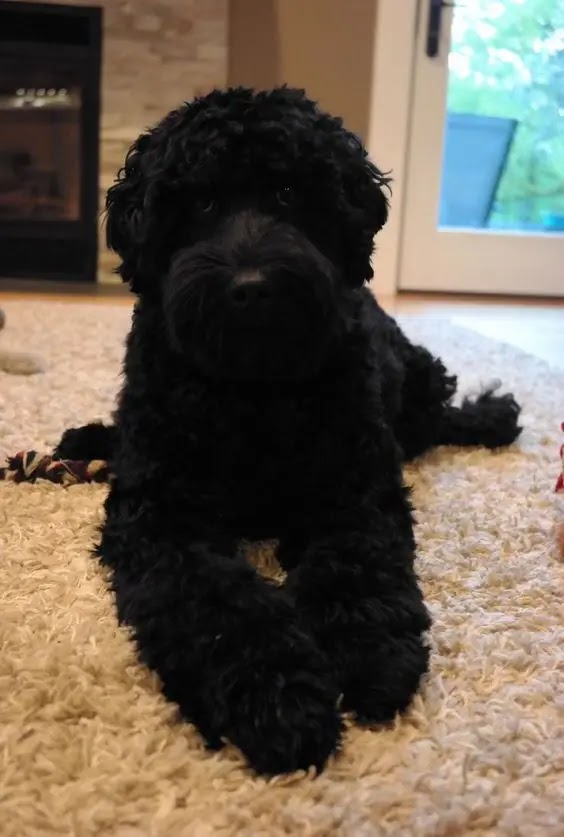 Black Goldendoodles - Everything About this Black Mutt