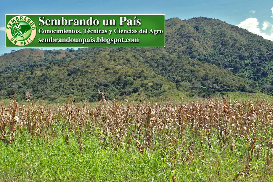 cultivo de maíz para harina en última etapa