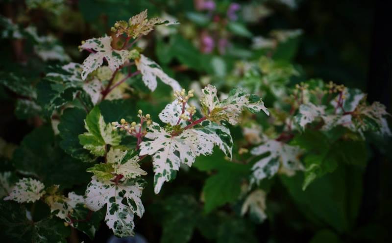 hojas variegadas