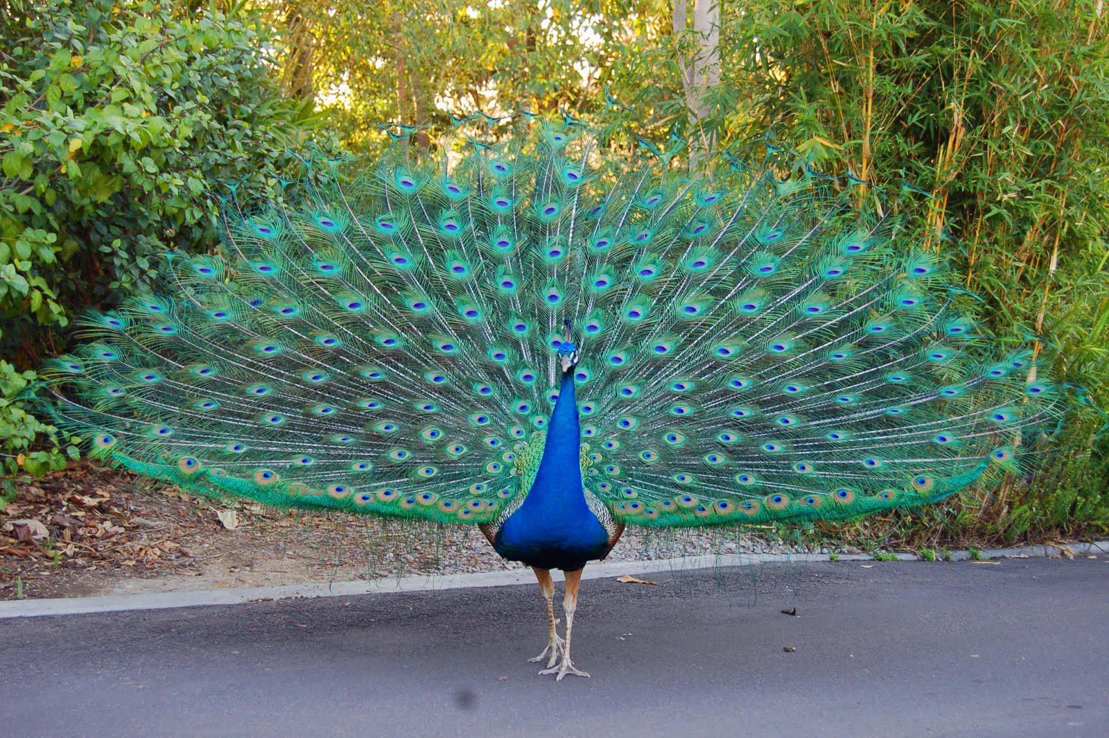 Bird peacock information