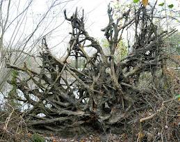 endangered roots