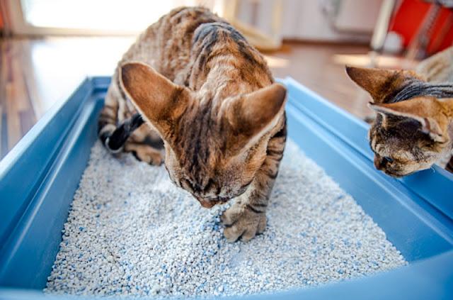 Cat in cat litter box