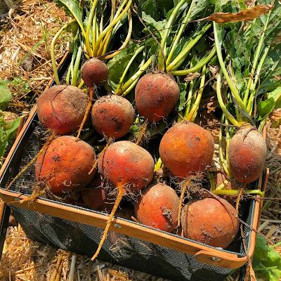 basket of golden beets