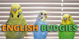 budgrighar, parakeets, english budgie