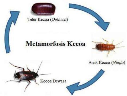 siklus hidup kecoa