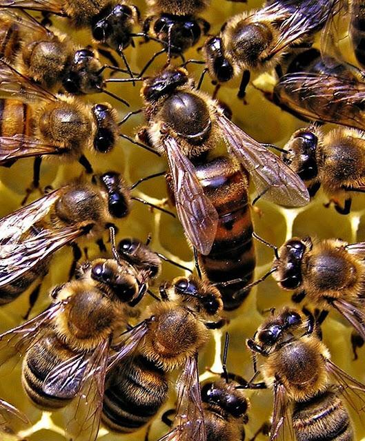 ملكة النحل