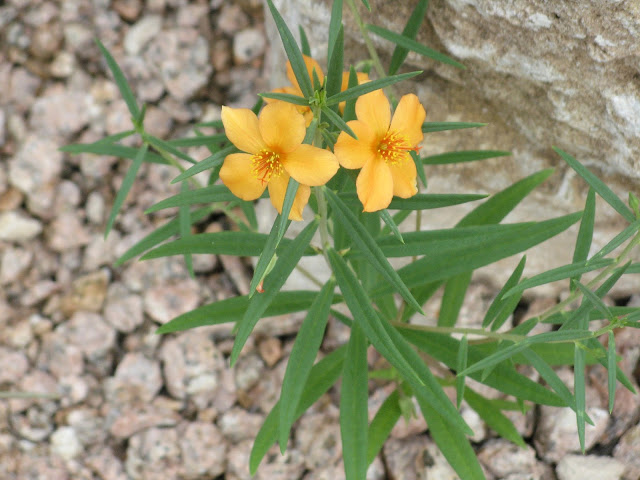 Phemeranthus aurantiacus