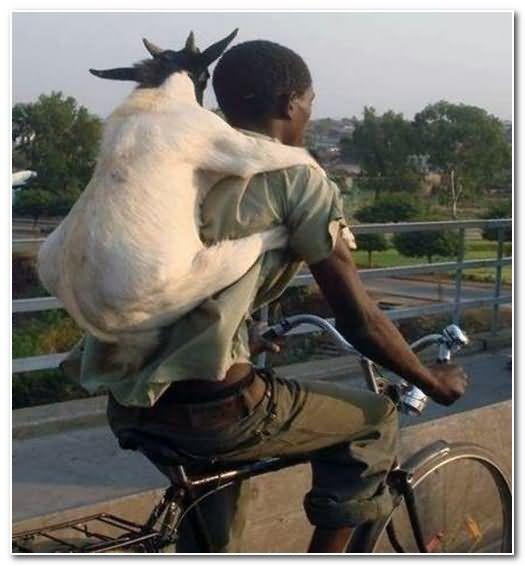 Hình ảnh hài hước nhất cõng dê đi xe đạp