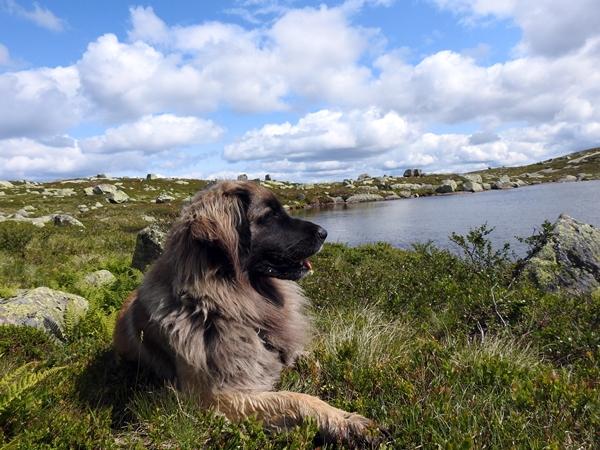 leonberger sørbølfjellet