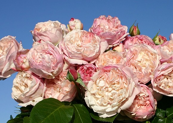 Herkules rose сорт розы фото