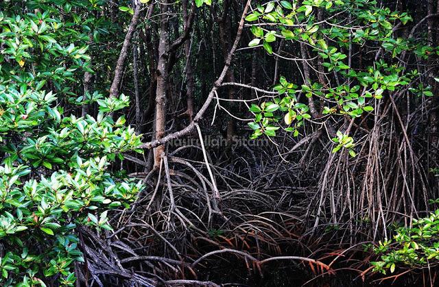 Rerimbunan Pohon Bakau di Karimunjawa