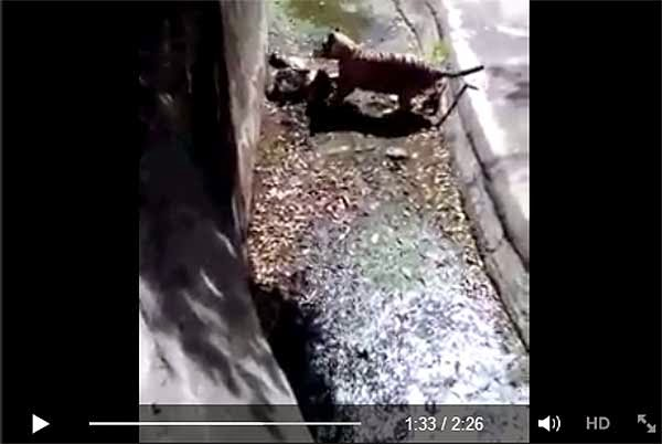 Tiger Kills Man Inside Zoo