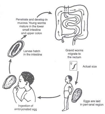 anticorpi pinworm