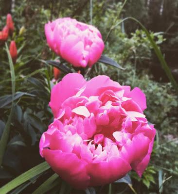 tumman vaaleanpunaiset pinkit pionin kukat aukeamassa