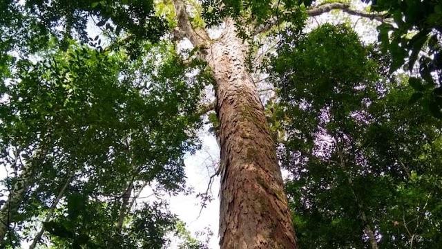 Pesquisadores encontram árvore mais alta da Amazônia