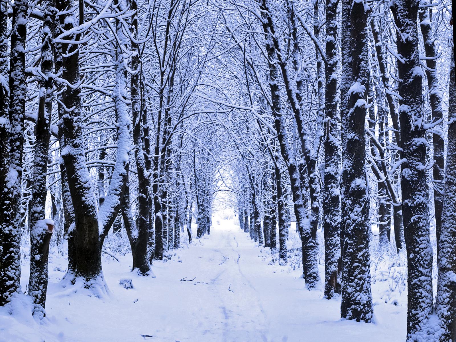 Winter Woods Snow Wallpaper Is The Ascendancy Of