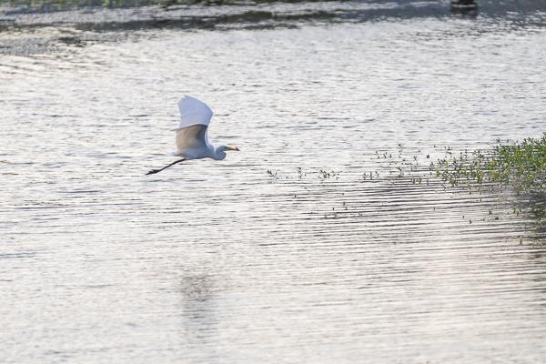 台中湧泉公園星泉湖賞愛心水草和水鳥,文明之基和滿月指輪好好拍