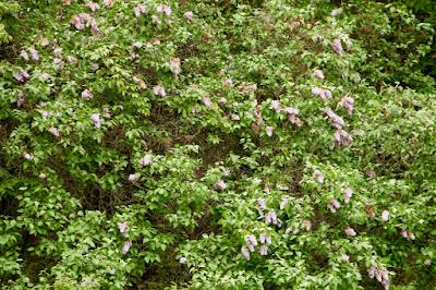 last June's lilacs