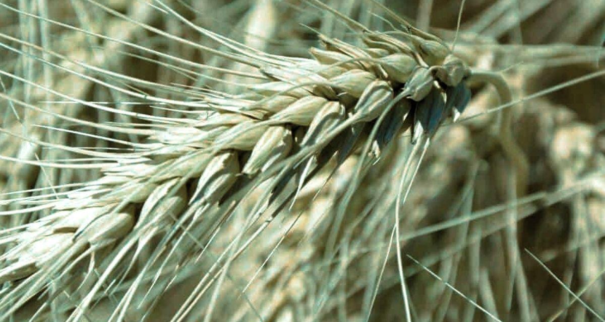 RS pode ser o maior produtor de trigo na nova safra
