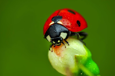 Ladybug perched on a flower bud.