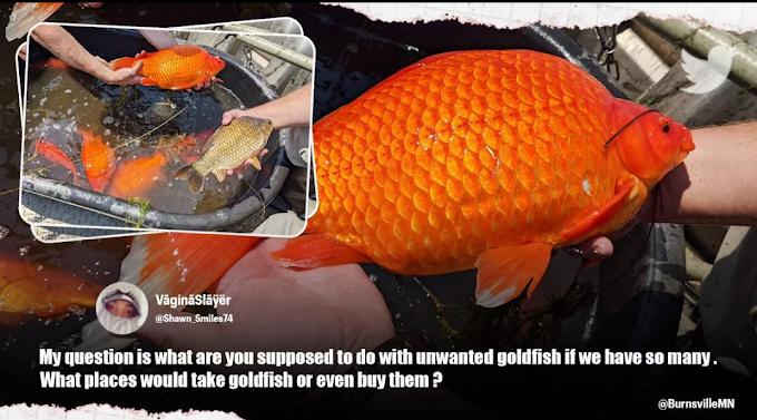 goldfish problem in US : 'सोने की मछली' से अमेरिकी राज्य में तहलका, प्रशासन ने जारी की चेतावनी