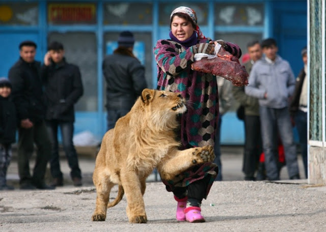 Zukhro, an employee of the Dushanbe zo, walk with a year and a half lion Vadik.