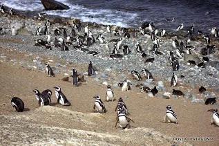 Penguin colony at Isla Magadalena, near Punta Arenas