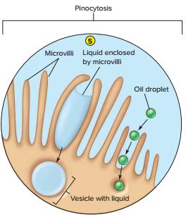 pinositosis adalah, transport aktif pada mikroorganisme