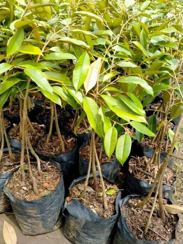 Bibit durian Musangking kaki 3 okulasi cepat berbuah Riau