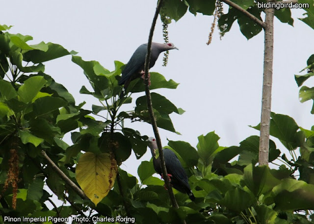 Pinon Imperial Pigeon (Ducula pinon) in Waigeo island of Raja Ampat