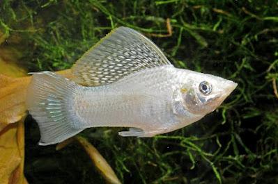 Silver saifin molly