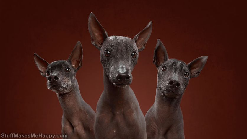 12. Trio xoloitzcuintle - so they look at everyone who tries to pronounce out loud the name of their breed