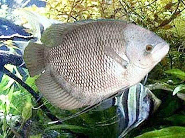 Gambar dan Ikan Gurame