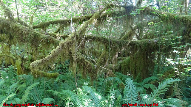 Hanging moss and ferns in Hoh Rain Forest