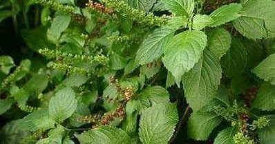 Image result for Amazing Health Benefits of Scent Leaf