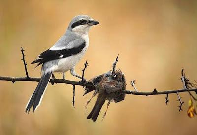 burung cendet atau pentet