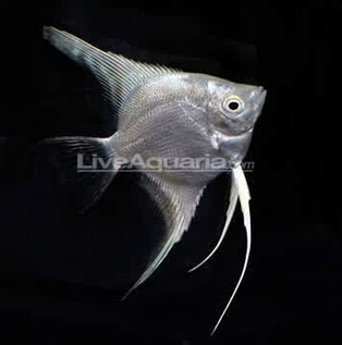Inilah Jenis-Jenis Ikan Manfish/(Angelfish) Platinum