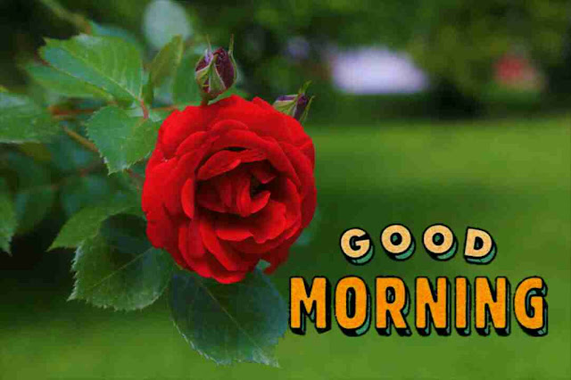 Beautiful good morning with a red rose flower
