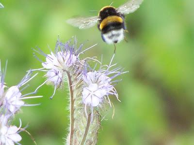 Attirez les insectes pollinisateurs en installant de nombreuses plantes mellifères