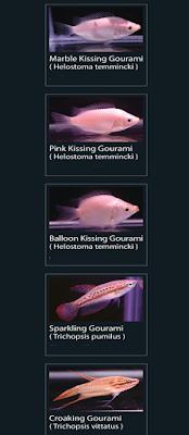 36 Pink kissing gourami (helostoma temmincki)  37 Balloon kissing gourami (helostoma temincki)  38 Sparkling gourami (trichopsis pumilus)  39 Croaking gourami (trichopsis vittatus)
