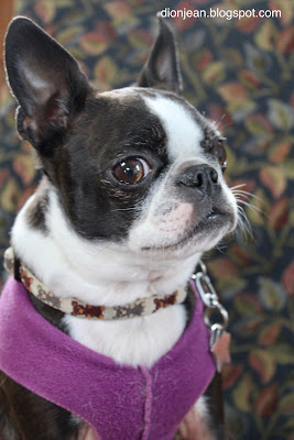 Sinead the Boston terrier in profile