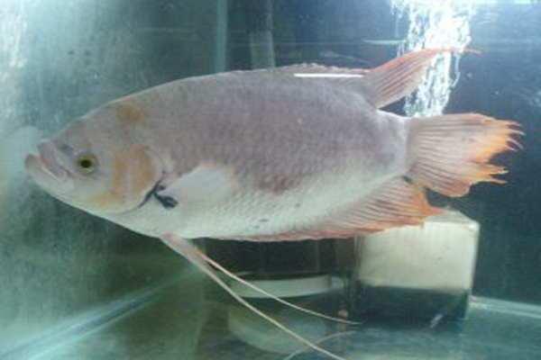 Budidaya Ikan Gurame Kapas