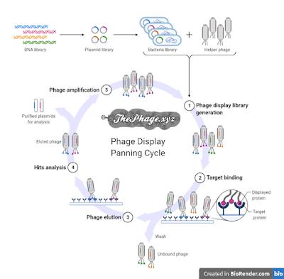 phage display (www.thephage.xyz)