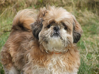 toy dog breeds, toy breed dogs