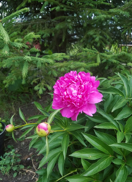 мои 92 дня лета, цветут пионы красные...