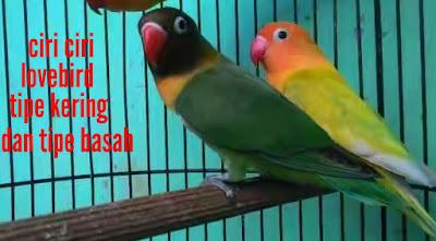 ciri ciri lovebird tipe kering dan tipe basah